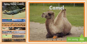 Arabian Animals Display Photos - Science: Living World, Arabian animals, desert animals, UAE, display photos, camel, falcon, oryx, ga