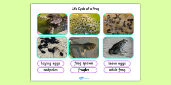 Life Cycle of a Frog Photo Cut Out Pack - life cycles, cut outs
