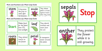 Parts of a Plant Loop Cards - parts of a plant loop card, parts of a plant, plant, plants, parts, loop cards, cards, flashcards, loop, image, nature, green, tree, leave, leaves, roots