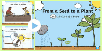 Life Cycle of a Plant PowerPoint - Early Childhood Plants, Pre-K Plants, Plants, Pre-Kindergarten Plants, K4 Plants, 4K Plants, plant l