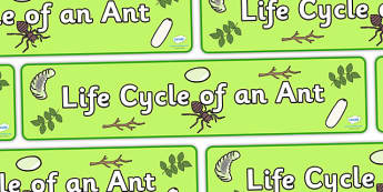 Ant Life Cycle Display Banner - ant banner, life cycle of an ant banner, display, banner, display banner, ant life cycle banner, ant life cycle, ant, ants