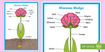 Poster Arddangos Rhannau Blodyn - plant, flower, parts, poster, blodyn, rhannau, arddangos, poster,Welsh