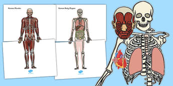 Skeleton And Organs Cut And Stick Activity - skeleton, cut, stick
