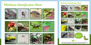 Minibeast Identification Worksheet - minibeast investigation, naming minibeasts, describing minibeasts, Minibeasts, Topic, Foundation stage, knowledge and understanding of the world, investigation, living things, snail, bee, ladybird, butterfly, spid