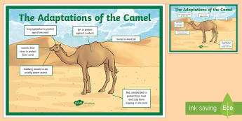 Camel Adaptation A4 Display Poster - Science, UAE, animals, living, world, Arabian, leopard, camel, falcon, oryx, saluki, lizard, sand, m