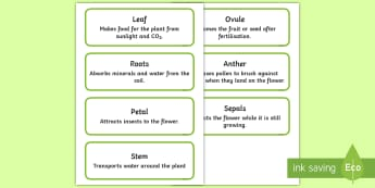Parts of Plants Word Cards - life cycle, bean, beanstalk, growing, growth, plants, plant life cycle, word cards, display, parts o