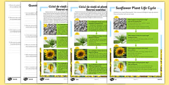 Sunflower Plant Life Cycle Differentiated Reading Comprehension Activity Romanian Translation - romanian, plant, plants, life cycle, reading, KS1, comprehension, questions