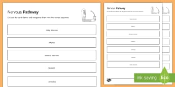 Nervous Pathway Sequencing Cards - Sequencing Cards, gcse, biology, nervous system, nerves, neurone, neurones, stimulus, response, nerv