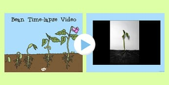 Bean Time-Lapse Video PowerPoint - bean, powerpoint, grow, video