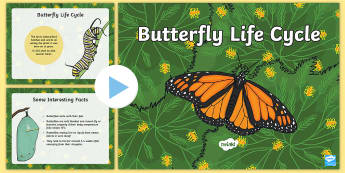 Butterfly Life Cycle PowerPoint - butterfly life cycle, butterfly life cycle powerpoint, butterfly powerpoint, life cycle of a butterfly, minibeasts