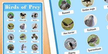 UK Birds of Prey Display Poster - uk birds, birds of prey, display poster, display, poster