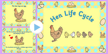 Chicken Life Cycle PowerPoint - chicken life cycle, chicken life cycle powerpoint, chicken powerpoint, life cycle of a chicken powerpoint, life cycles