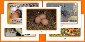 Chick Development Display Photos - chick, development, display
