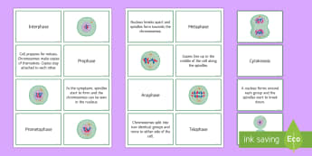 Mitosis Sorting Cards - Biology Week, Mitosis, Interphase, Prophase, Metaphase, Cytokinesis, Prometaphase, Teolphase, Anapha