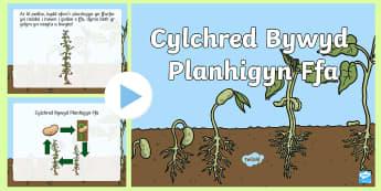 Pŵerbwynt Cylchred Bywyd Planhigyn Ffa - Bywyd Newydd, Fferm, farm, new life, life cycles, cylchoedd bywyd, Fi fy hun a phethau byw eraill, G