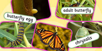 Life Cycle of a Butterfly Photo Cut Out Pack - life cycles, cut