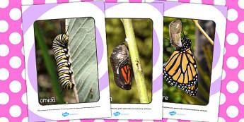 Ciclul de viață la fluture - Cartonașe cu fotografii și cuvinte