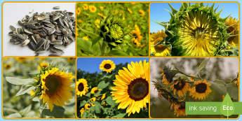 Cylch Bywyd Blodyn Haul - Sunflowers, sunflower, blodyn haul,blodau haul, hadyn, tyfu, egino, seed, seedling, grow.,Welsh, tyfu pethau, plannu