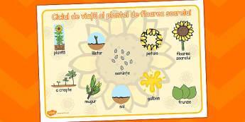 Floarea Soarelui- Ciclul de viata, plansa de cuvinte si imagini, Romanian