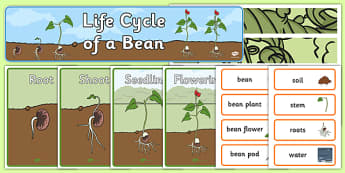 Life Cycle of a Bean Plant Display Pack