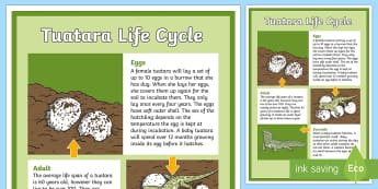 Tuatara Life Cycle Display Poster - Life CycleNew ZealandNew Zealand native animalsendangered animalsoldest amphibiansTuataraconservatio
