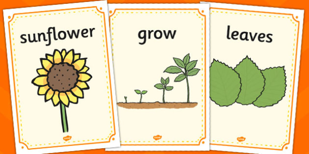 Sunflower Life Cycle Display Posters - sunflower, display, poster