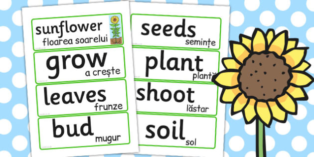 Sunflower Life Cycle Word Cards Romanian Translation - romanian