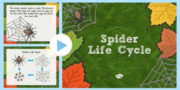 Australia Spider Life Cycle PowerPoint - australia, spider, life