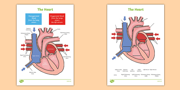 The Heart Labelling Diagrams - the heart, heart, human, labelling diagram, diagrams, lable, labelling, biology, atrium, left atrium, right atrium, pulmonary veins, veins, vena cava, pulmonary artery, aorta, artery