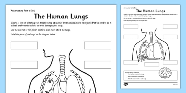 The Human Lungs Activity Sheet - human lungs, fact of the day, activity, worksheet