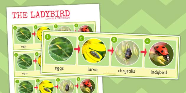 Ladybird Life Cycle Photo Strip - ladybird, life cycle, photo