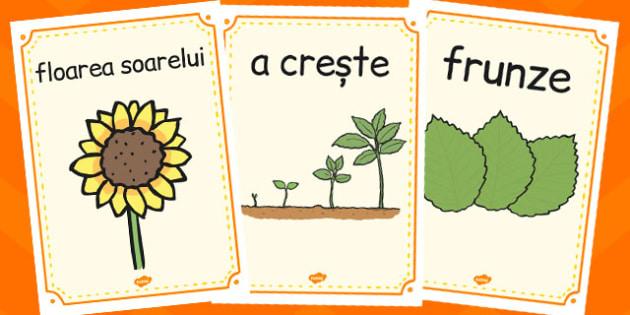 Ciclul de Viata la Floarea Soarelui, plante, samanta, poster, Romanian