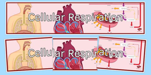Cellular Respiration Display Banner - cellular respiration, ks3, biology, display banner