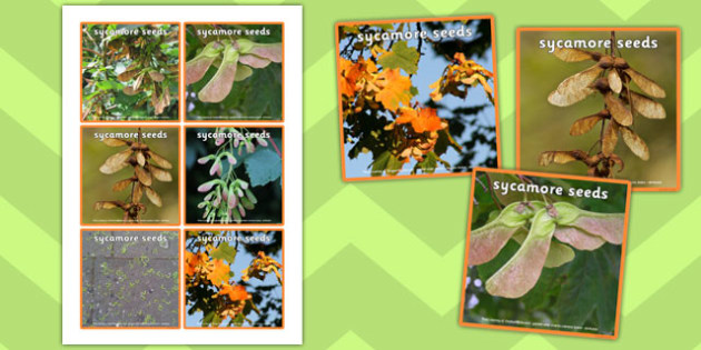 Sycamore Seed Pictures - images, leaves, trees, nature, ks1, key stage 1, growth, growing, drawing, display, visual aid, early years