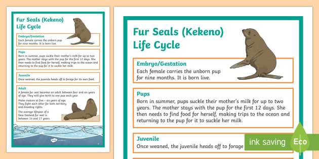 NZ Fur Seal / Kekeno Life Cycle Display Poster