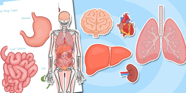 Large Human Body Organs for Skeleton - australia, organs, skeleton