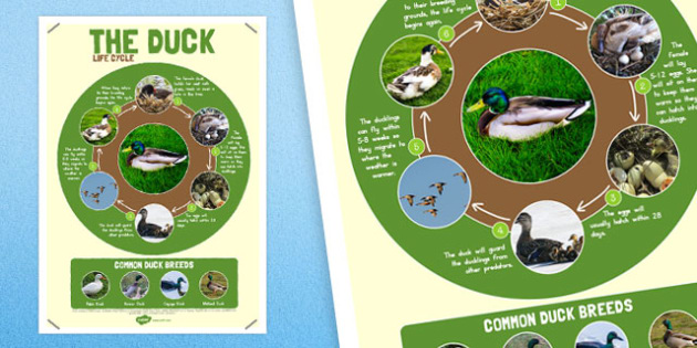 Duck Life Cycle Large Poster - australia, duck, life cycle, cycle
