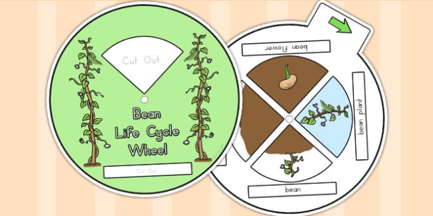 Bean Life Cycle Spin Wheel - life cycles, visual aids, lifecycle
