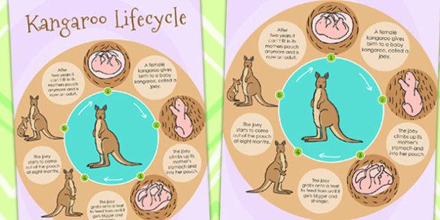 Kangaroo Life Cycle Poster - lifecycles, life cycle, display
