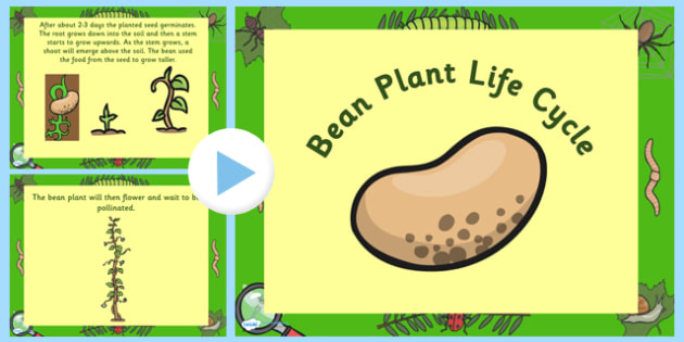 Australia Bean Life Cycle PowerPoint - australia, bean, cycle