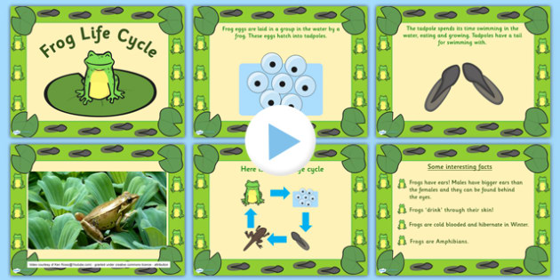 Frog Life Cycle PowerPoint - frog life cycle, frog life cycle powerpoint, frog powerpoint, life cycle of a frog, life cycles, frogs, minibeasts