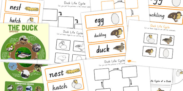 Duck Life Cycle Resource Pack - australia, duck, life cycle