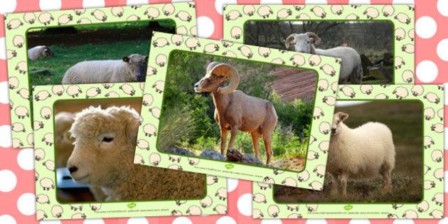 Sheep Display Photos - sheep, display, photos, display photos
