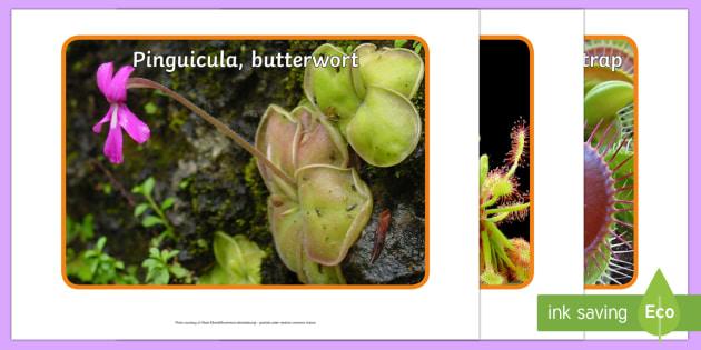 Carnivorous Plants Display Photos - plants, carnivorous, carnivore, carnivorous plants, meat eating plants, unusual plants, Venus flytra