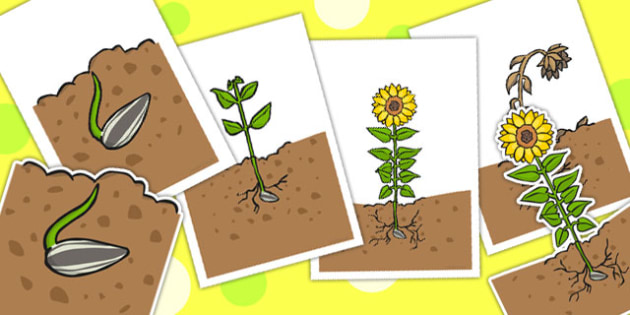 Sunflower Life Cycle Cut Outs - life cycles, cutouts, display