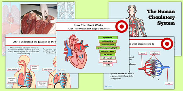 Year 6 Human Body Circulatory System Lesson Teaching PowerPoint