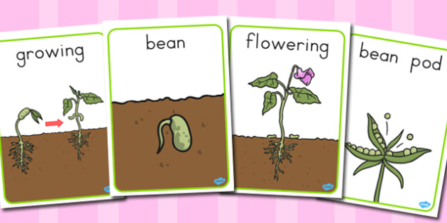 Life Cycle of a Bean Display Posters - australia, life cycle