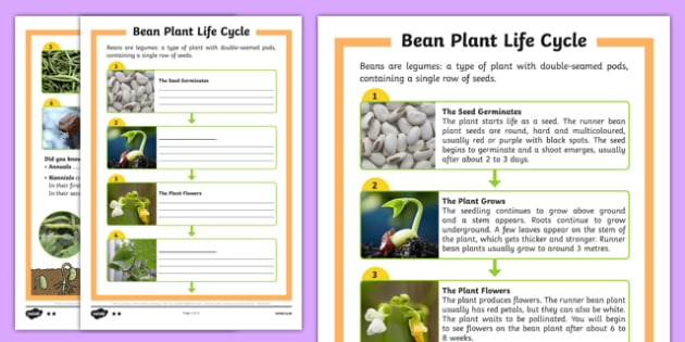 Bean Plant Life Cycle Differentiated Writing Frames