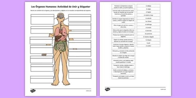 Los órganos humanos: actividad de EMPAREJAR - esquema, corporal, partes, vocabulario, definición