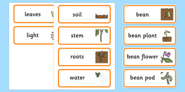 Life Cycle of a Bean Word Cards - australia, life cycle, bean